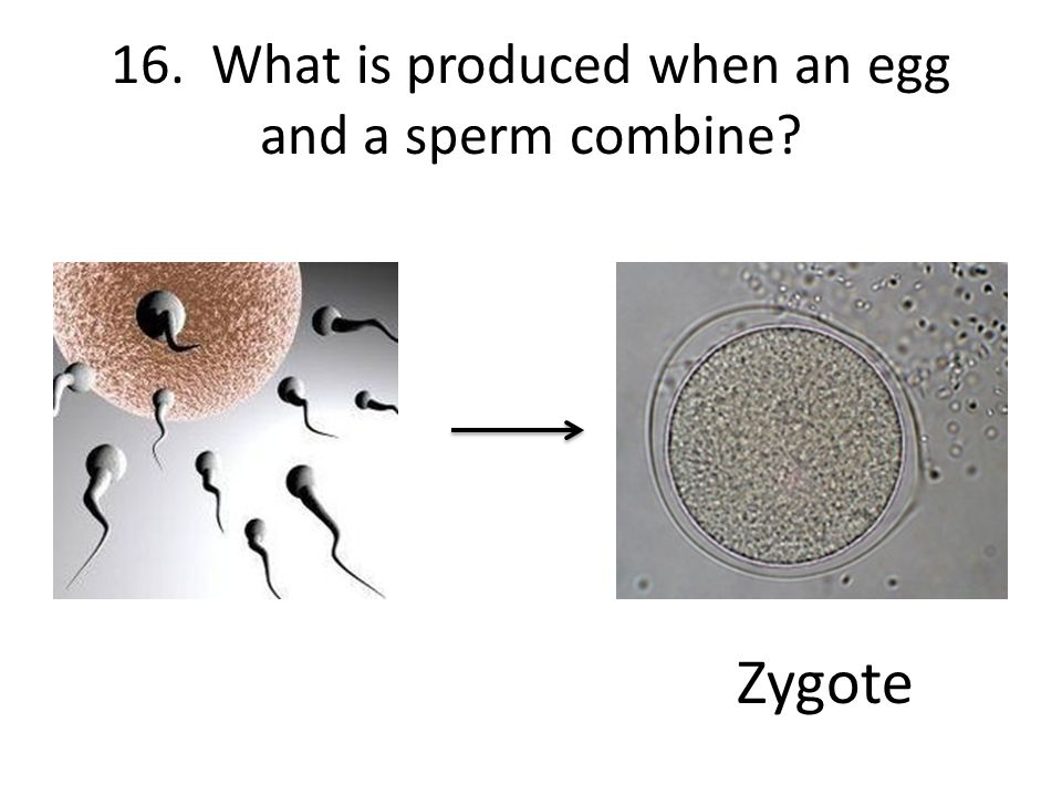 16. What is produced when an egg and a sperm combine