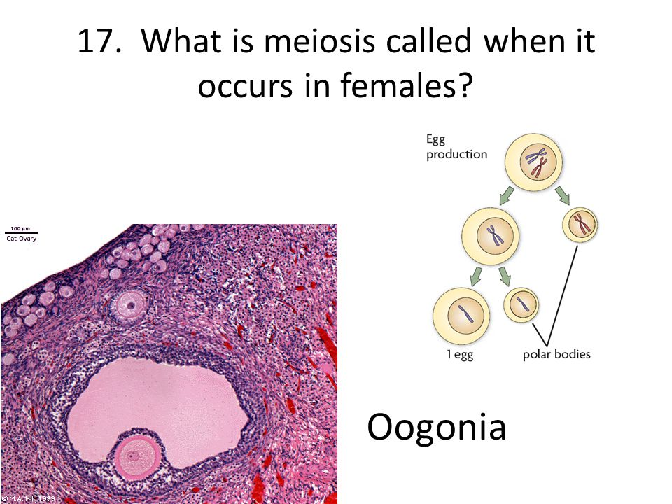 17. What is meiosis called when it occurs in females
