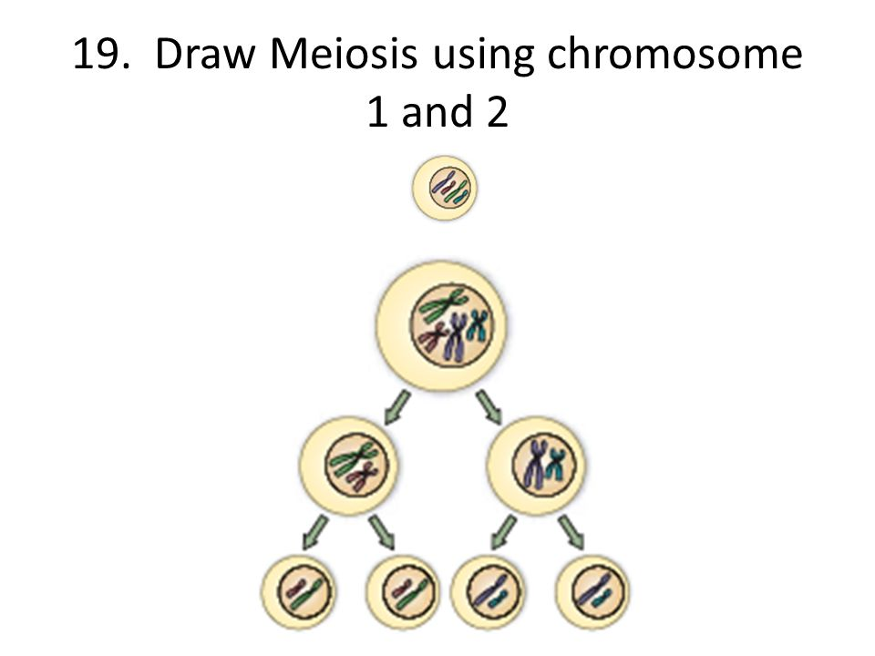 19. Draw Meiosis using chromosome 1 and 2