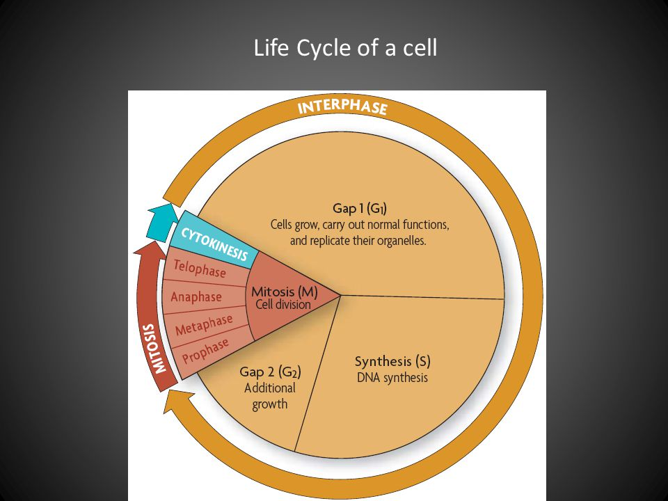 Life Cycle of a cell