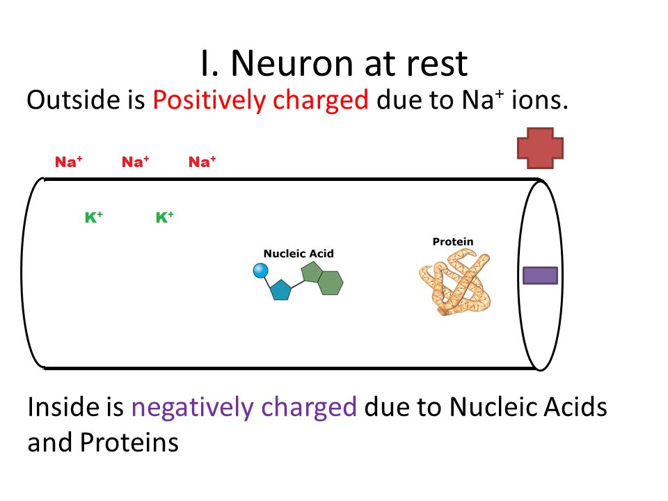 I. Neuron at rest Outside is Positively charged due to Na+ ions.