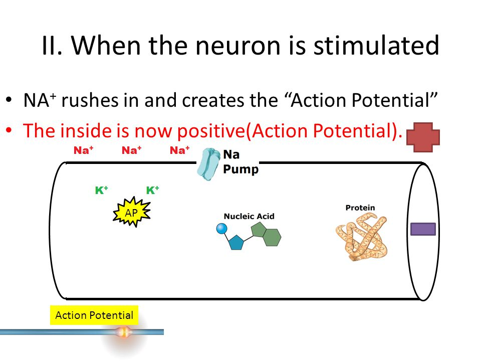 II. When the neuron is stimulated