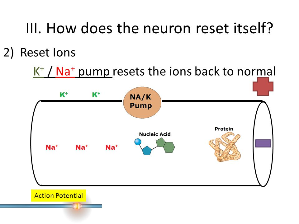 III. How does the neuron reset itself