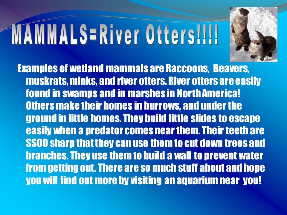 MAMMALS=River Otters!!!!