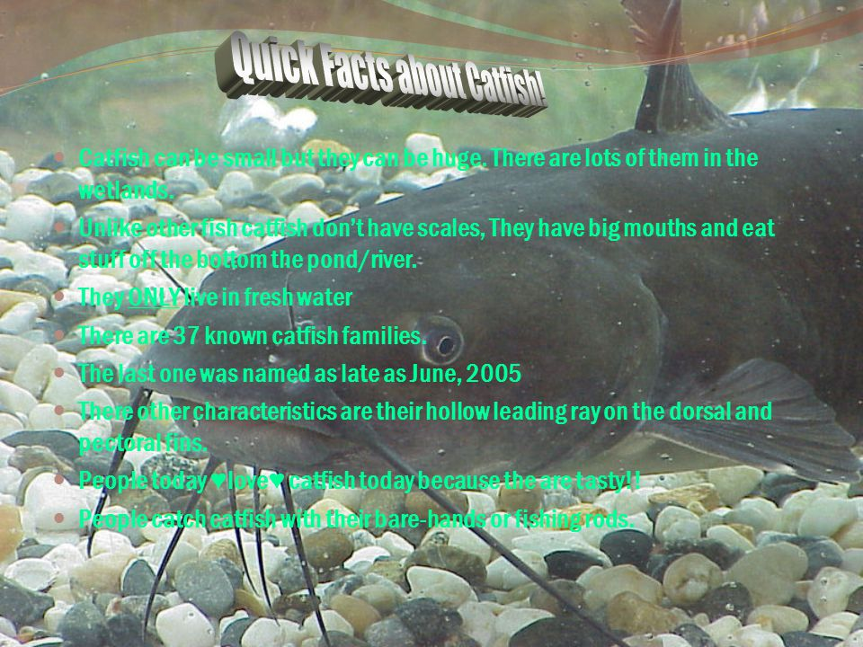 Quick Facts about Catfish!