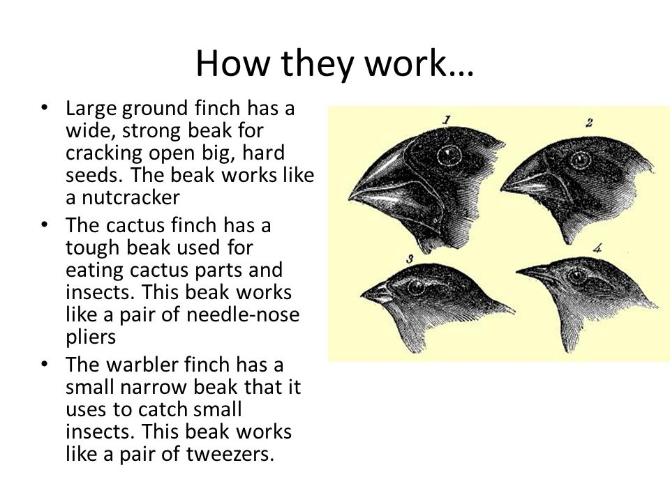 How they work… Large ground finch has a wide, strong beak for cracking open big, hard seeds. The beak works like a nutcracker.