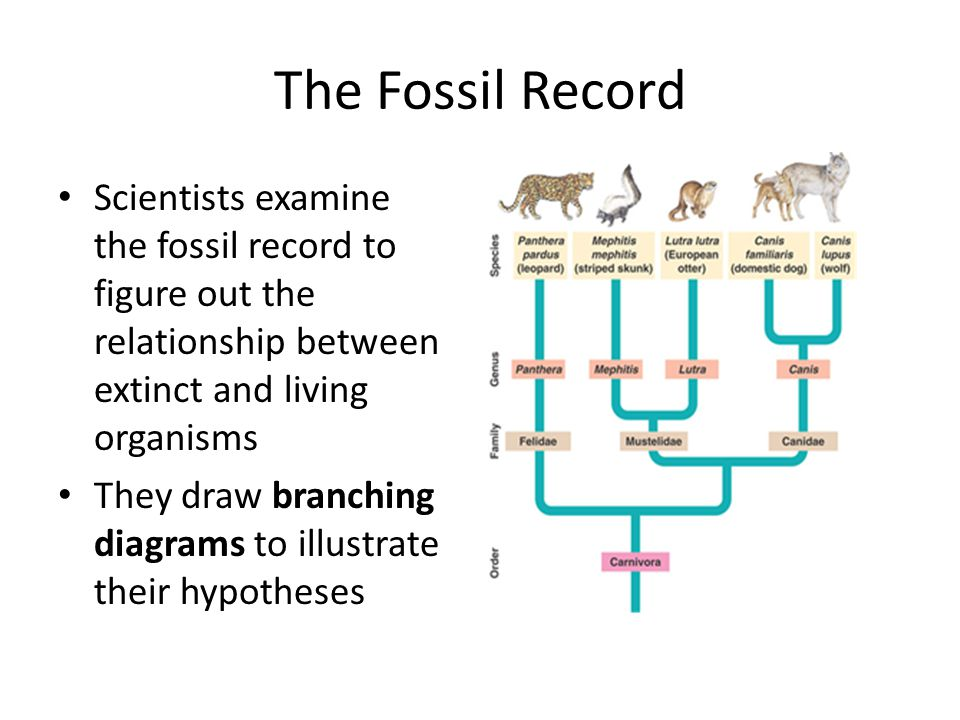 The Fossil Record Scientists examine the fossil record to figure out the relationship between extinct and living organisms.