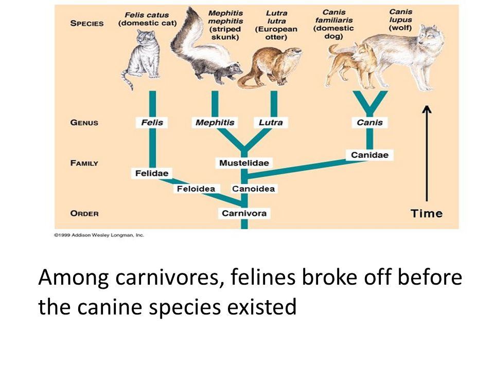 Among carnivores, felines broke off before the canine species existed