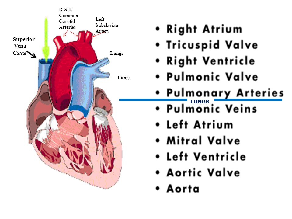 Superior Vena Cava R & L Common Carotid Arteries Left Subclavian