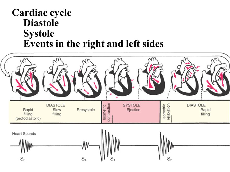 Cardiac cycle Diastole Systole Events in the right and left sides