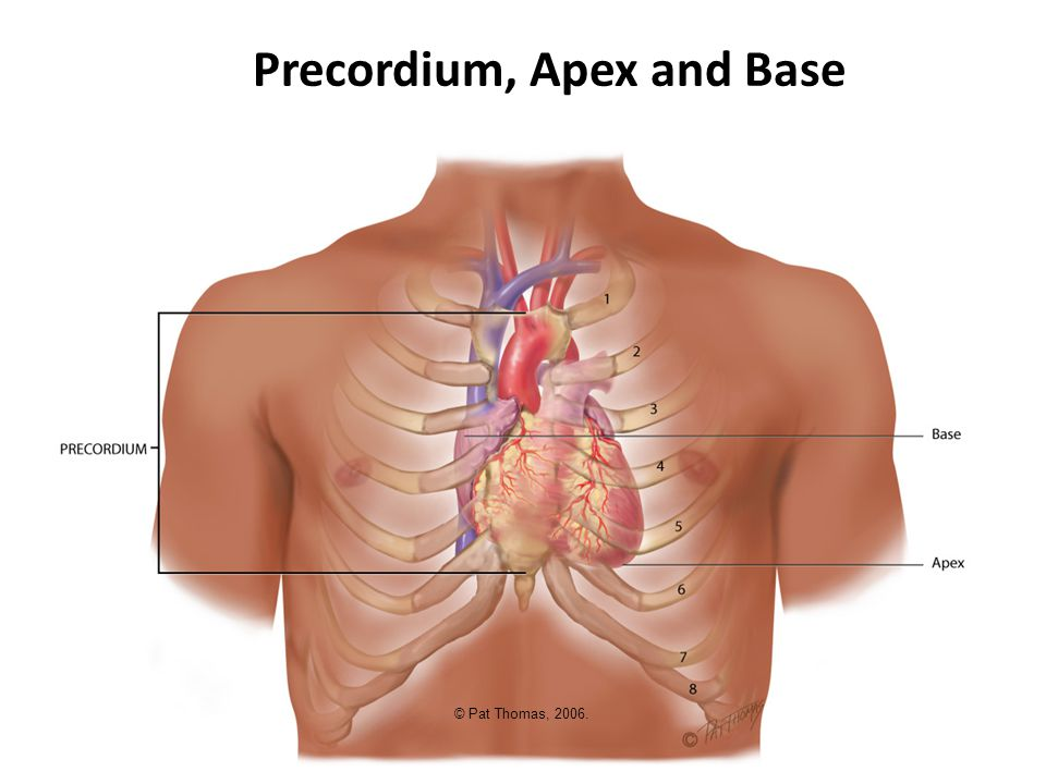 Precordium, Apex and Base