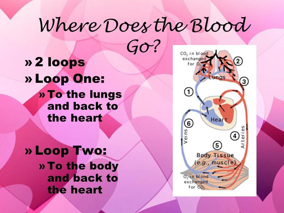 Where Does the Blood Go 2 loops Loop One: Loop Two: