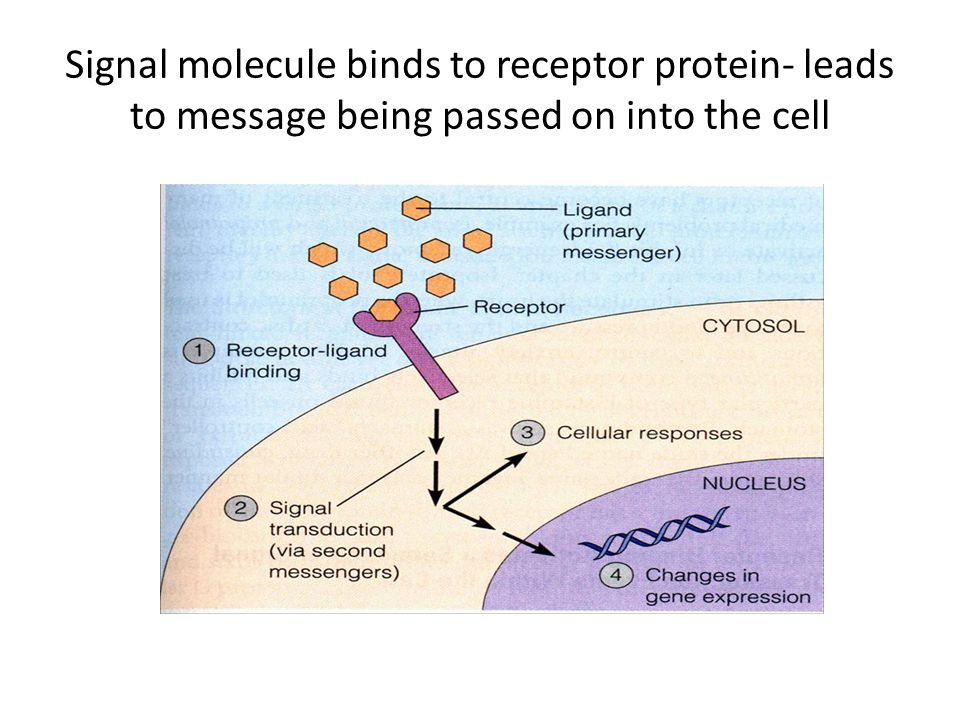 Signal molecule binds to receptor protein- leads to message being passed on into the cell