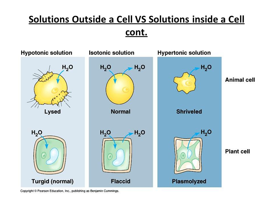 Solutions Outside a Cell VS Solutions inside a Cell cont.