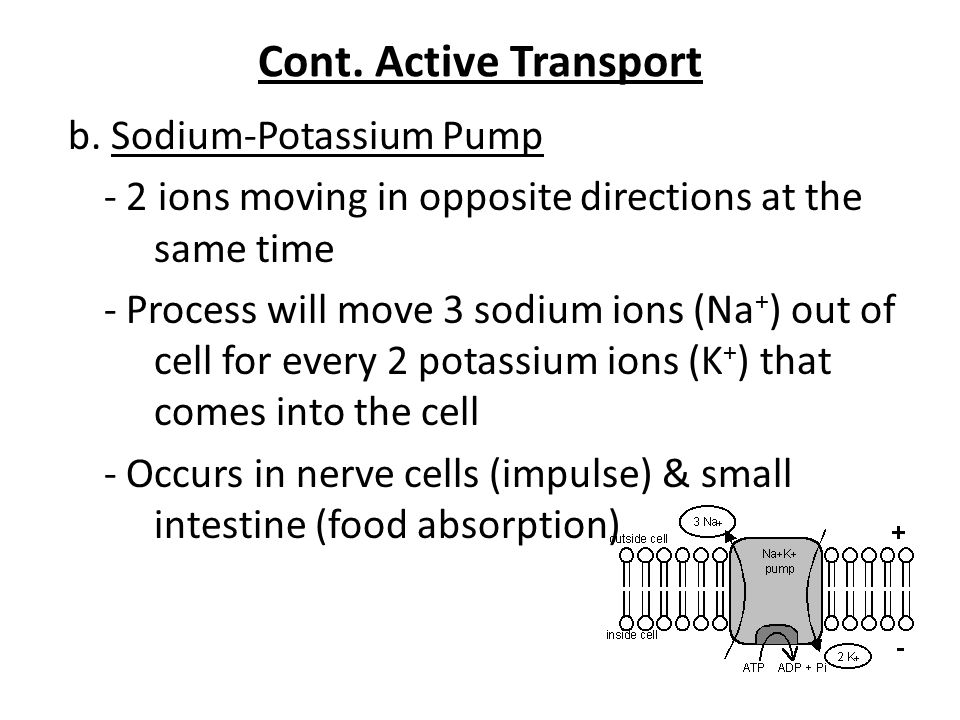 Cont. Active Transport