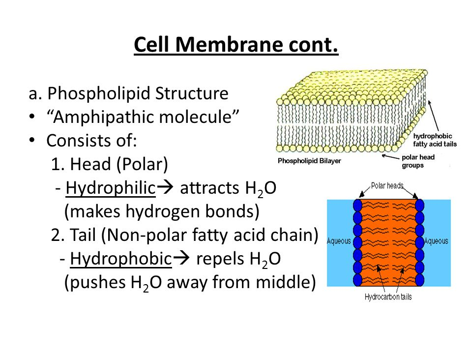 Cell Membrane cont. a. Phospholipid Structure Amphipathic molecule