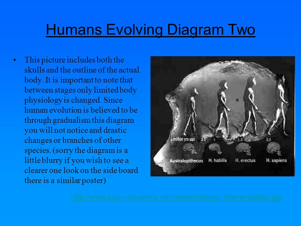 Humans Evolving Diagram Two