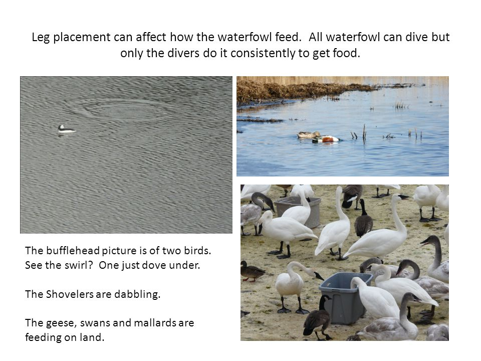 Leg placement can affect how the waterfowl feed