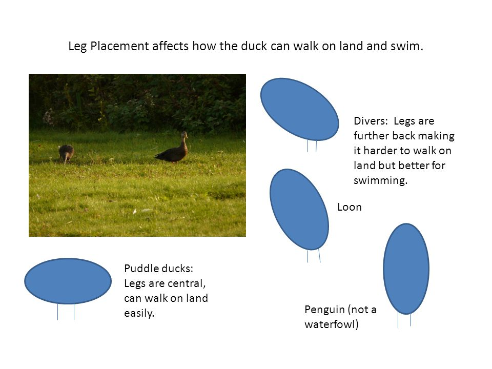 Leg Placement affects how the duck can walk on land and swim.