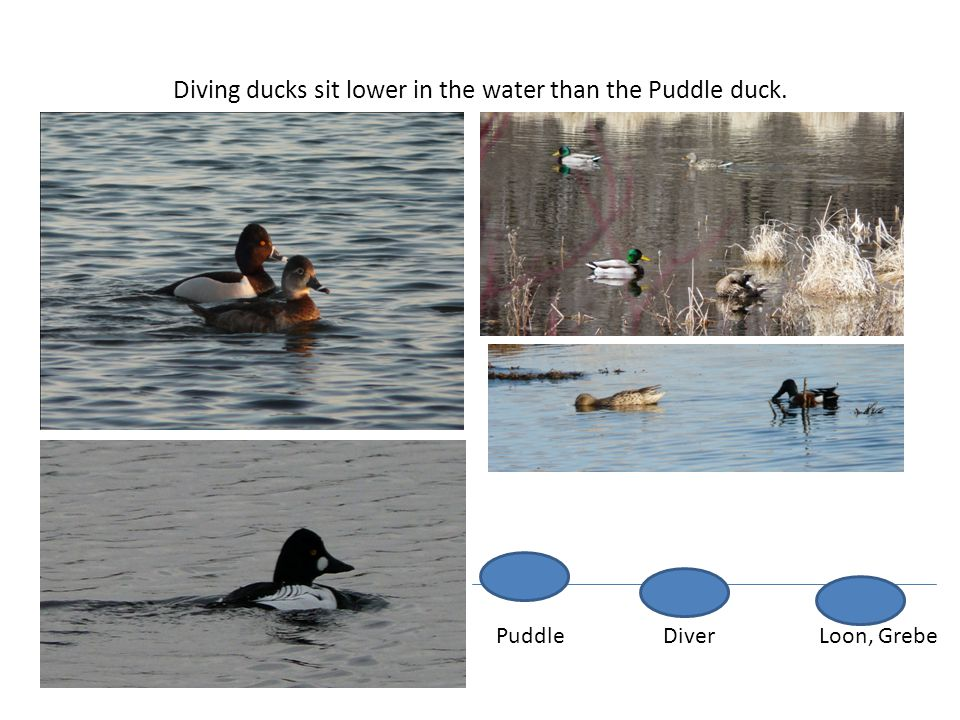 Diving ducks sit lower in the water than the Puddle duck.
