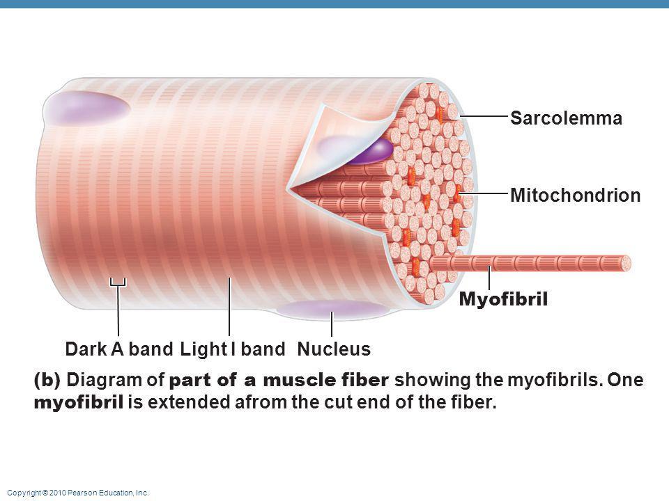 Sarcolemma Mitochondrion. Myofibril. Dark A band. Light I band. Nucleus.