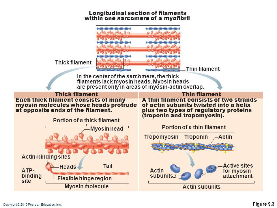 Longitudinal section of filaments within one sarcomere of a myofibril