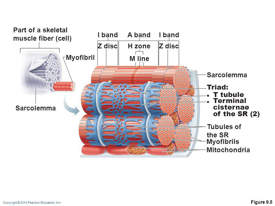 Part of a skeletal muscle fiber (cell) I band A band I band Z disc