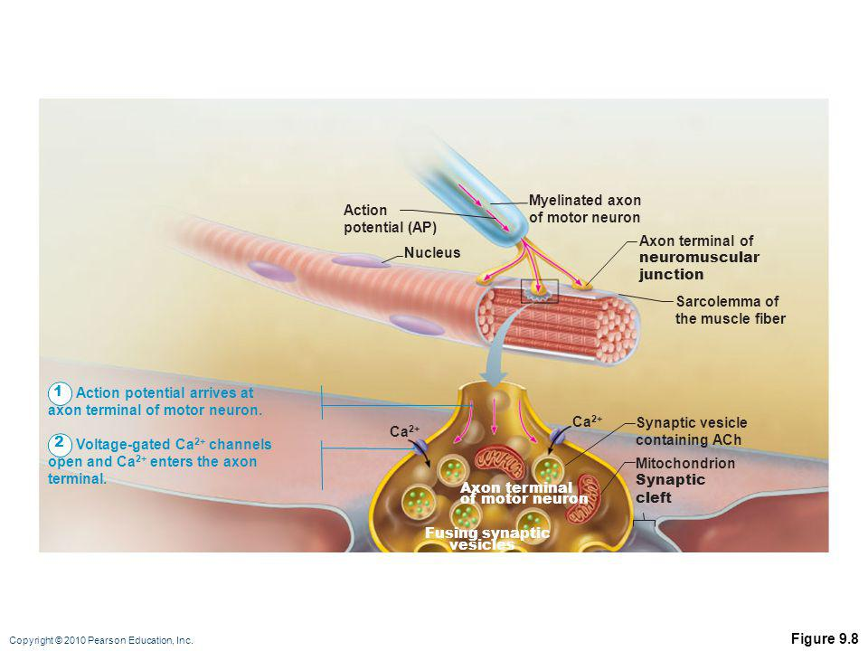 Myelinated axon of motor neuron. Action. potential (AP) Axon terminal of. neuromuscular. junction.