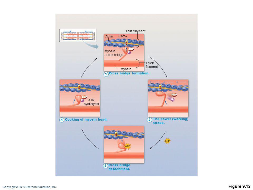 Figure 9.12 Thin filament Actin Ca2+ Myosin cross bridge Thick