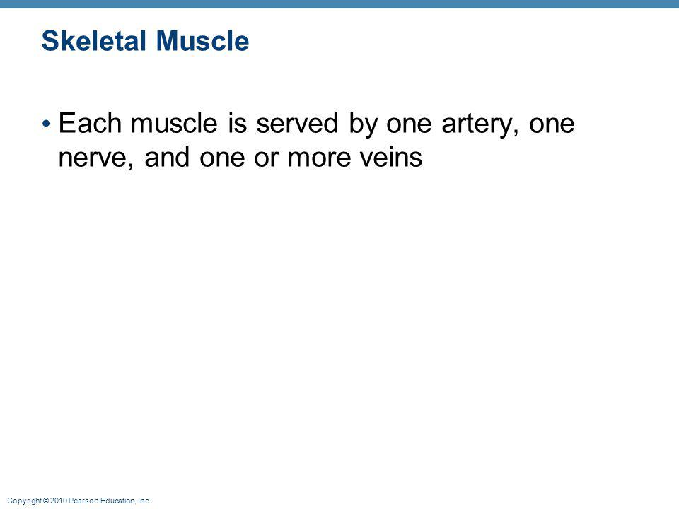 Skeletal Muscle Each muscle is served by one artery, one nerve, and one or more veins