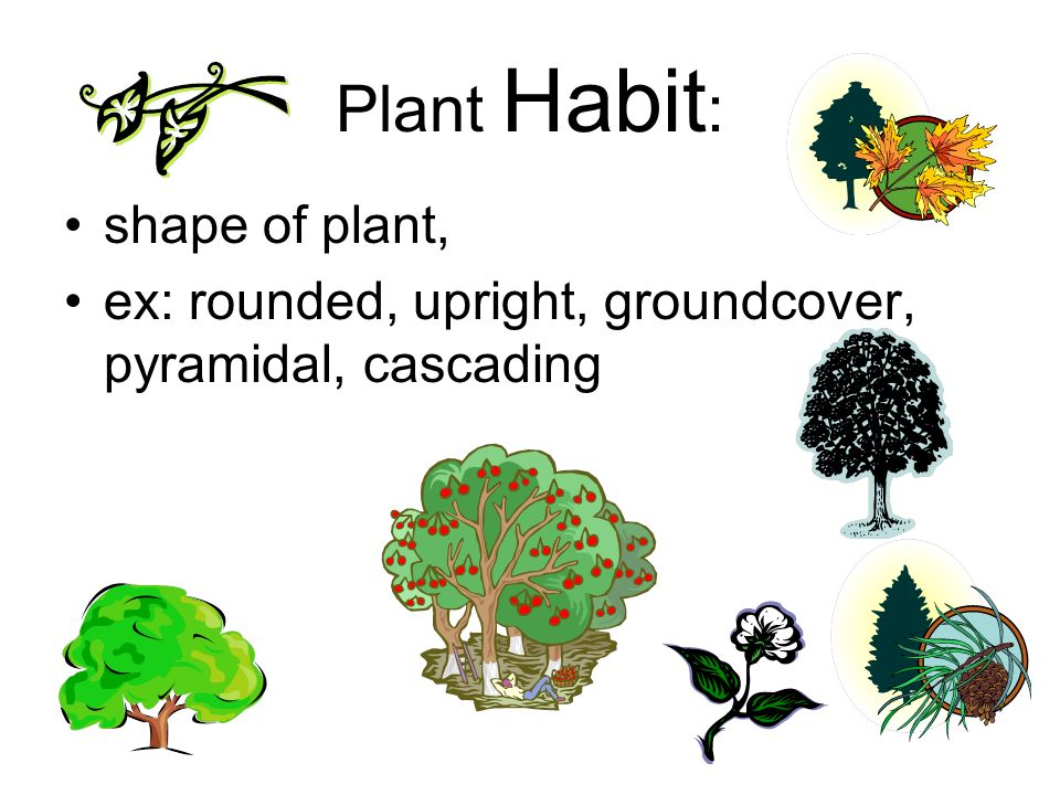 Plant Habit: shape of plant,
