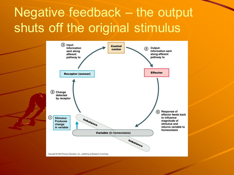 Negative feedback – the output shuts off the original stimulus