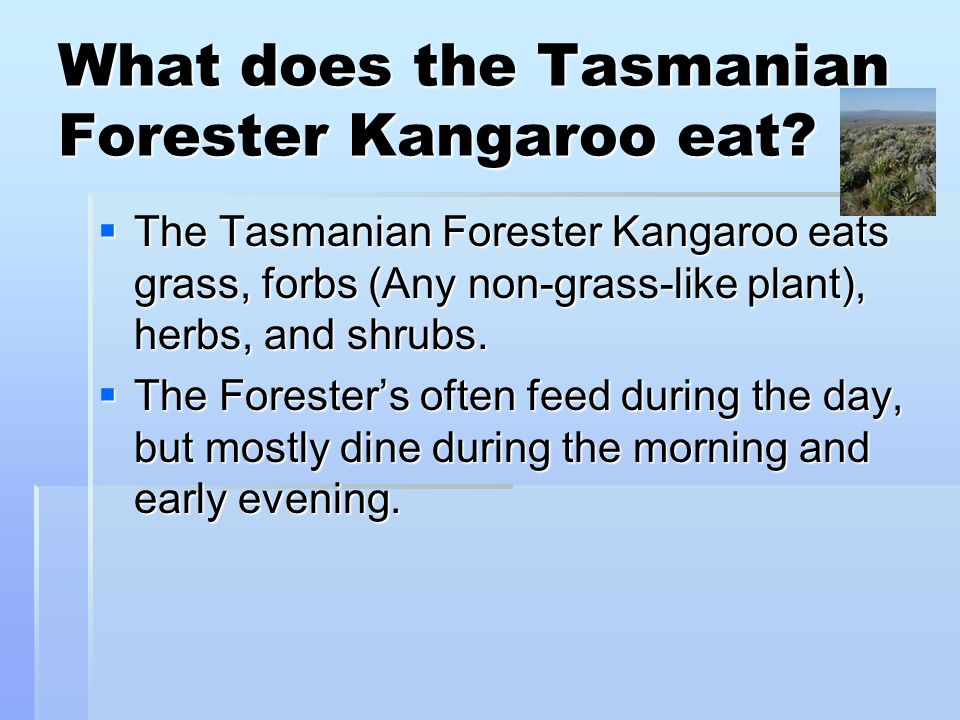 What does the Tasmanian Forester Kangaroo eat