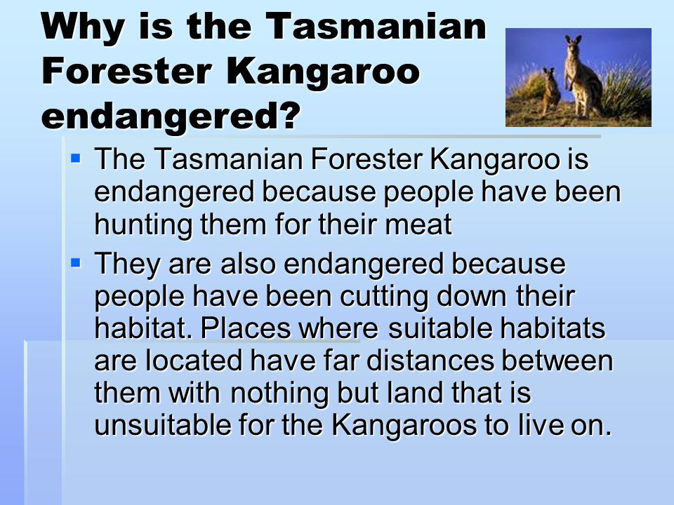 Why is the Tasmanian Forester Kangaroo endangered