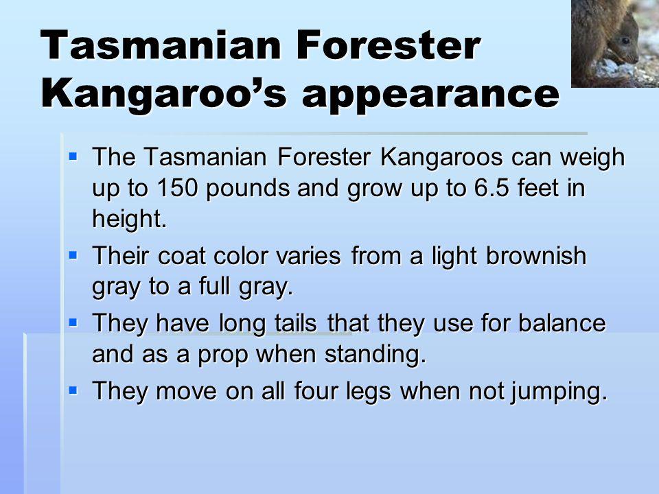 Tasmanian Forester Kangaroo's appearance