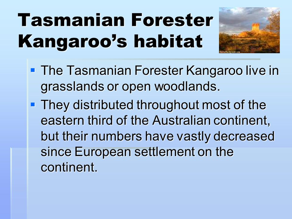 Tasmanian Forester Kangaroo's habitat