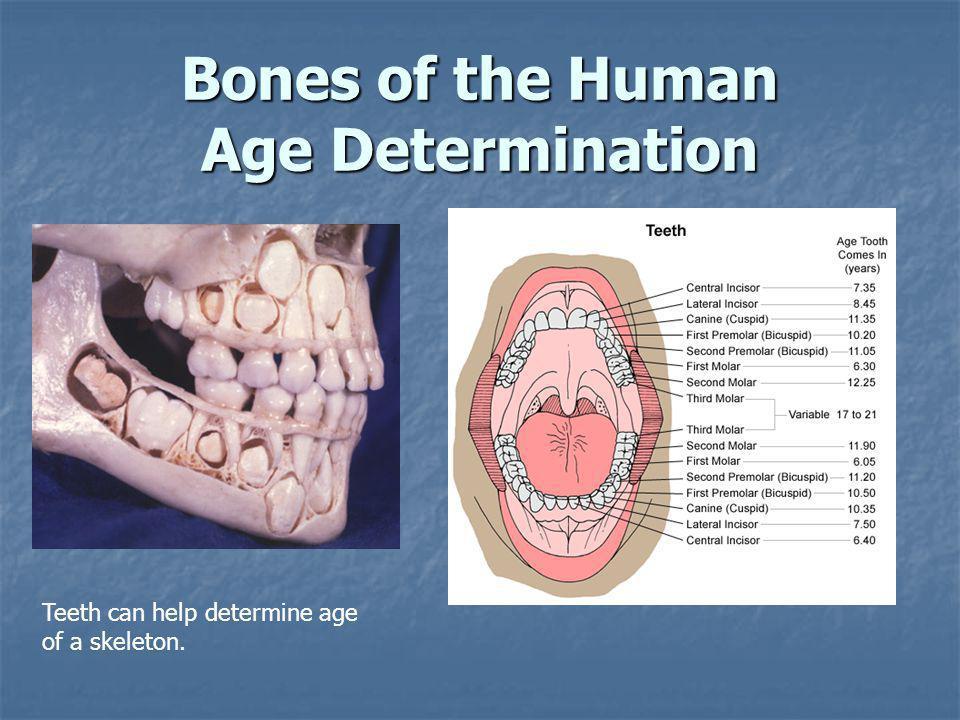 Bones of the Human Age Determination