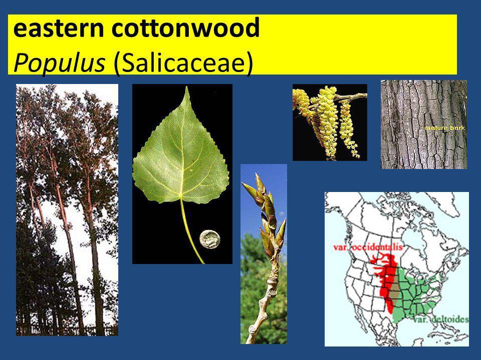 eastern cottonwood Populus (Salicaceae)