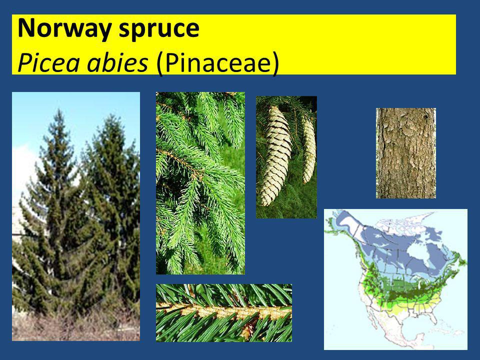 Norway spruce Picea abies (Pinaceae)