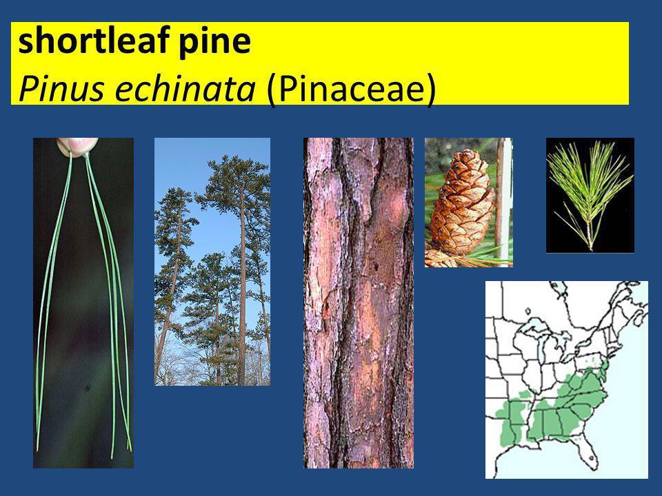 shortleaf pine Pinus echinata (Pinaceae)
