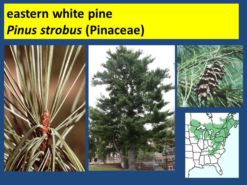 eastern white pine Pinus strobus (Pinaceae)