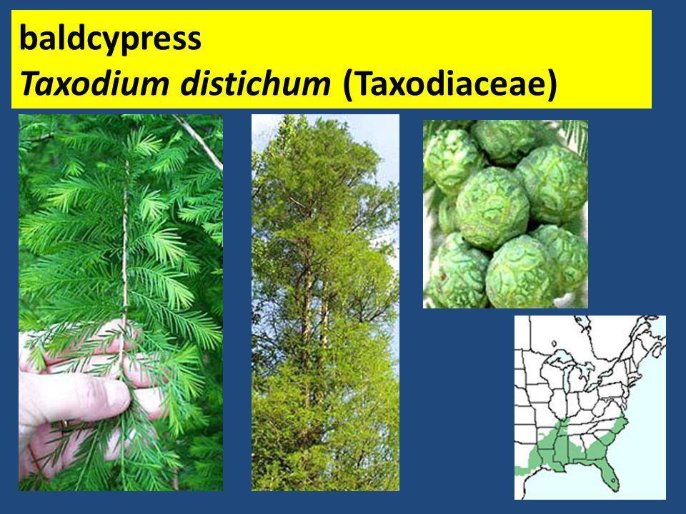 baldcypress Taxodium distichum (Taxodiaceae)