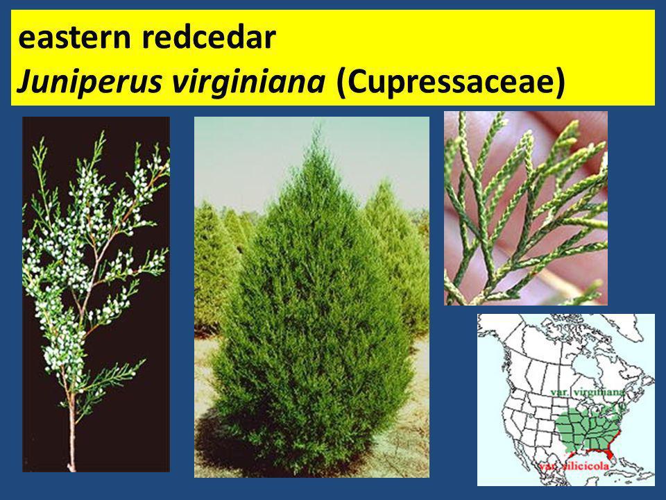 eastern redcedar Juniperus virginiana (Cupressaceae)