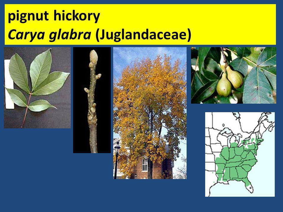 pignut hickory Carya glabra (Juglandaceae)