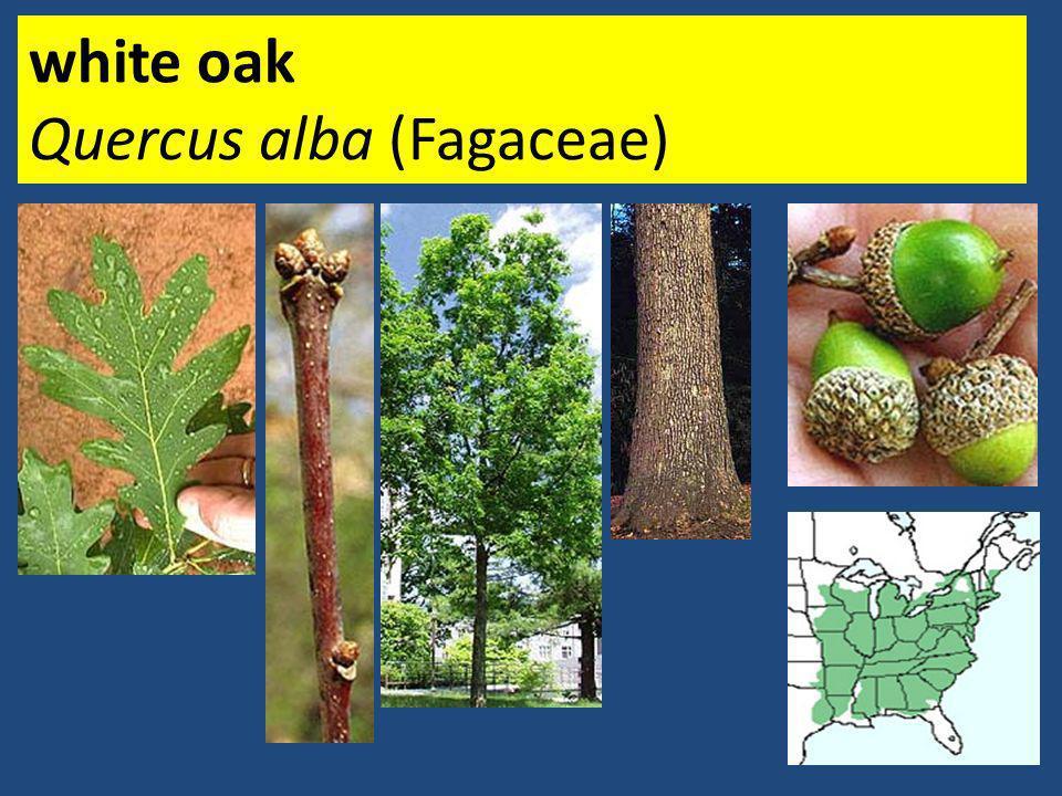 white oak Quercus alba (Fagaceae)