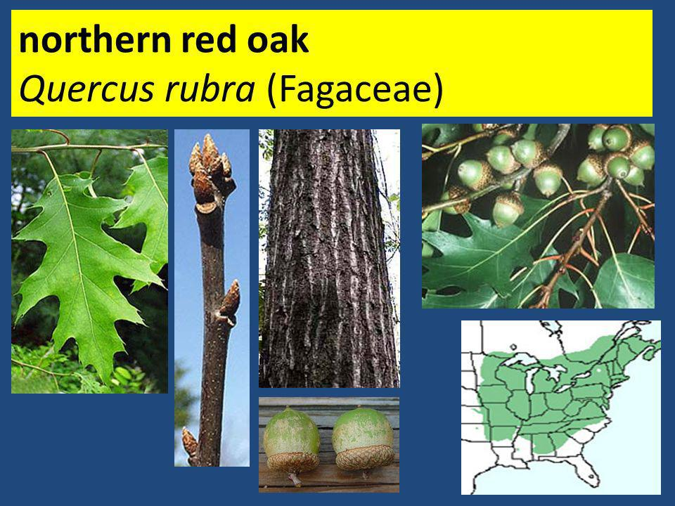 northern red oak Quercus rubra (Fagaceae)