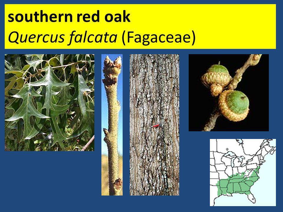 southern red oak Quercus falcata (Fagaceae)