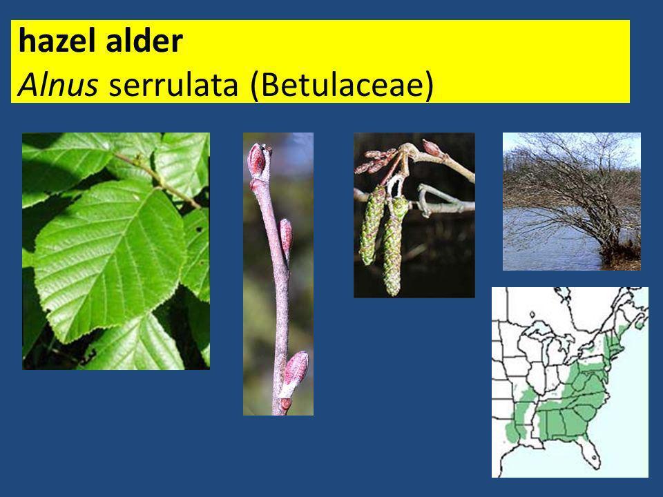 hazel alder Alnus serrulata (Betulaceae)