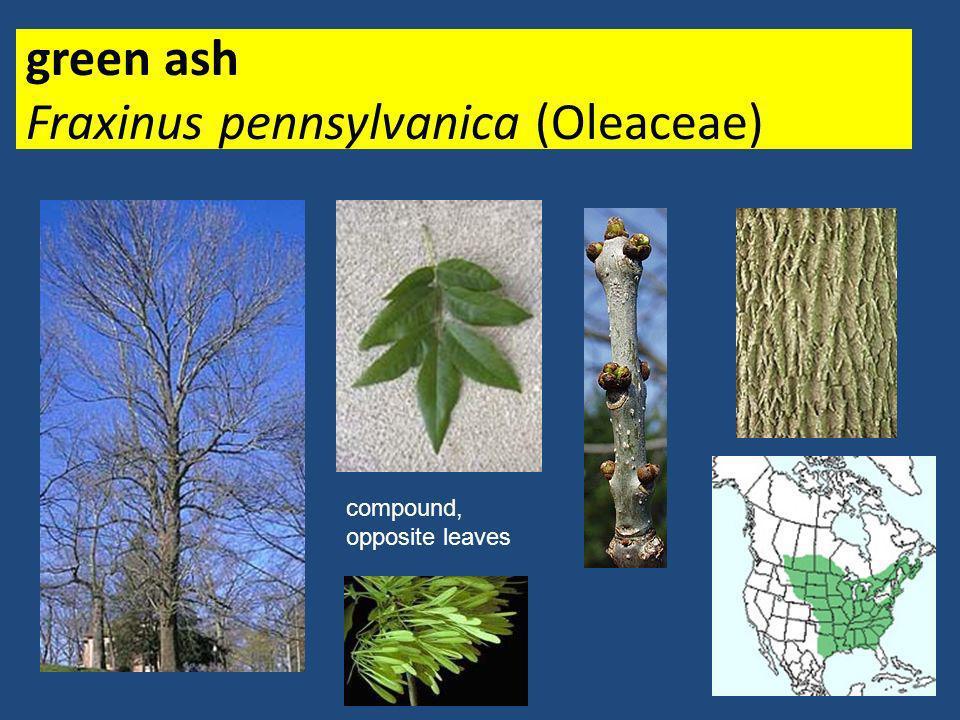 green ash Fraxinus pennsylvanica (Oleaceae)
