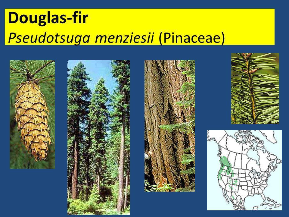 Douglas-fir Pseudotsuga menziesii (Pinaceae)